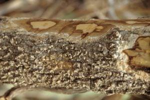 Die Rinde von Hintonia latiflora enthält die wertvollen Polyphenole/Bioflavonoide
