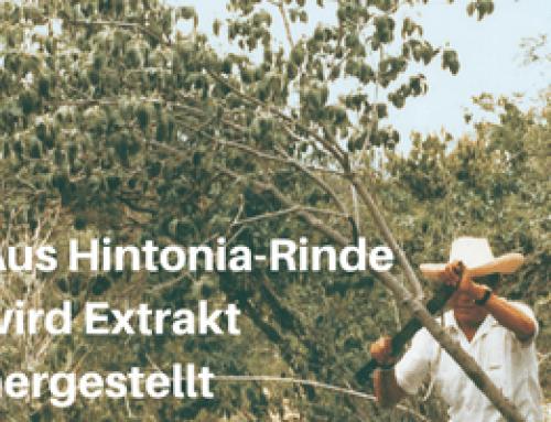 Wie wird die Identität und Qualität des Ausgangsmaterials für den Hintonia-Extrakt geprüft und wie wird der Extrakt hergestellt?