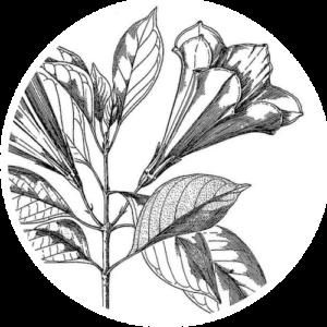 Hintonia latiflora