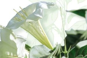 Hintonia Blüte